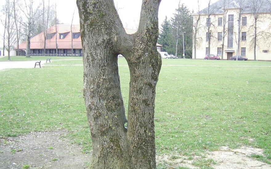 Suaugę medžiai