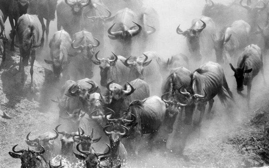 To dar nebuvo: Afriką sukrėtė didžioji migracijos paslaptis