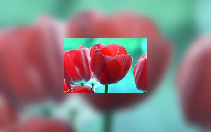 Tulpė, tulpės, gėlės