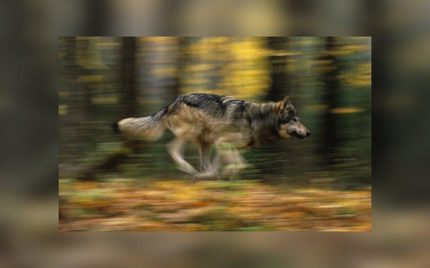 Prasideda vilkų medžioklė