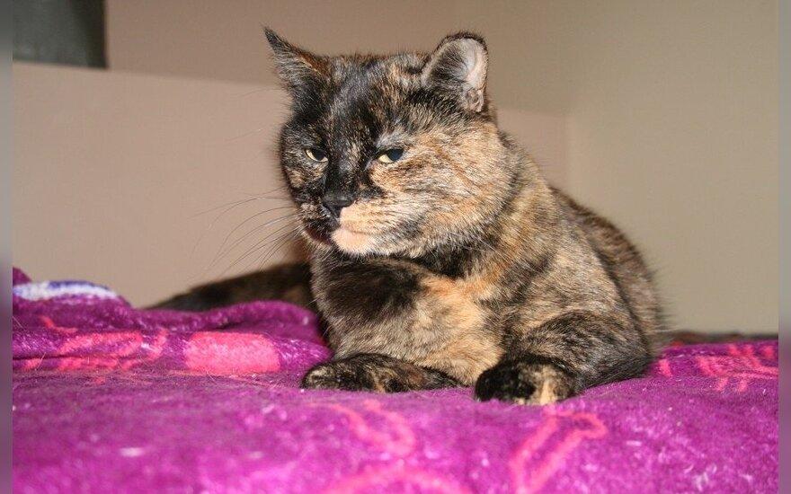 Trispalvė katytė Tapensė ieško namų