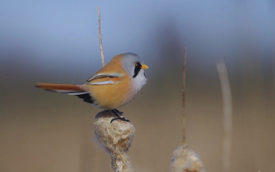 Vienas įstabiausių mūsų krašto paukščių – ūsuotoji zylė