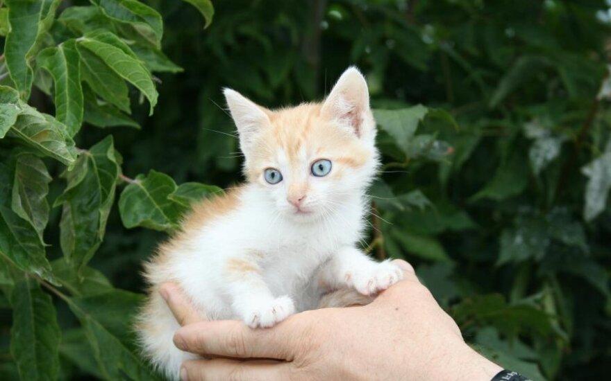 Dovanojami ryškiaspalviai kačiukai