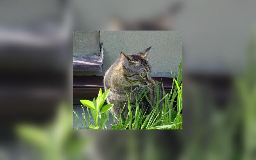 Katė, cat