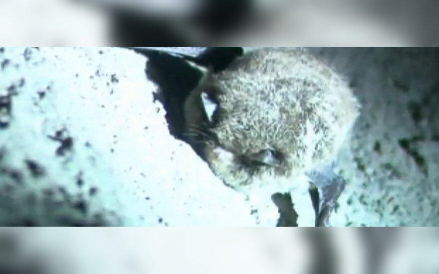 Aido Gudaičio teigimu, VIII fortas ir kiti užsemti Kauno požemiai ypatingai svarbūs šikšnosparnių apsaugai