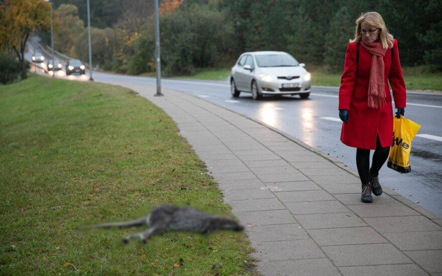 Iš filmavimo aikštelės Vilniuje pabėgusiai kengūrai gyvenimas laisvėje baigėsi liūdnai