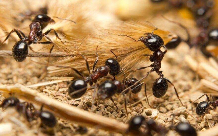 Juodosios skruzdėlės