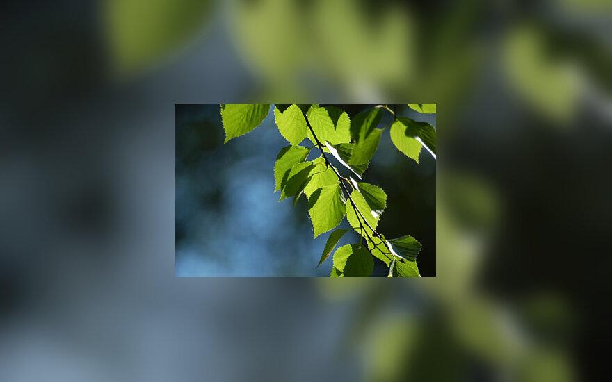 Beržo lapai