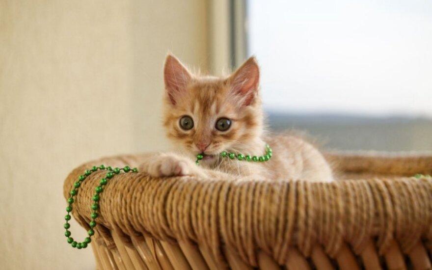 Žaviausias oranžinis kačiukas Rudis dairosi namų!