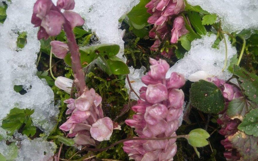 Velykų rytą prie piliakalnio aptiko nematytą augalą: gamtininkė paaiškino, kas tai per rūšis