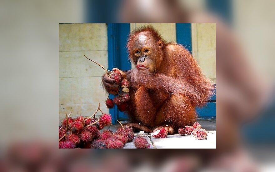 Borneo. Orangutangas