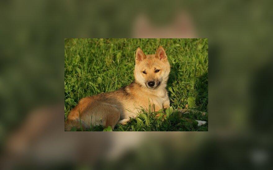 Dingo į lapę panašus šuo