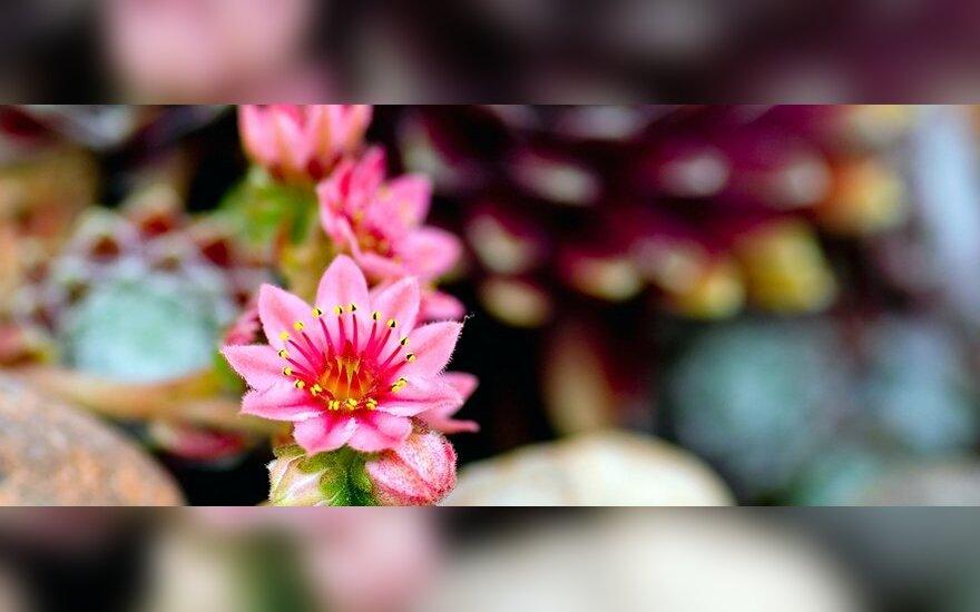 Alpinariumas, gėlės, sodas