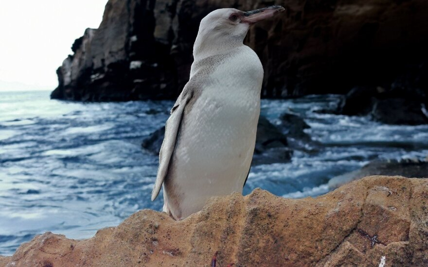 Galapagų salose pastebėtas visiškai baltas pingvinas
