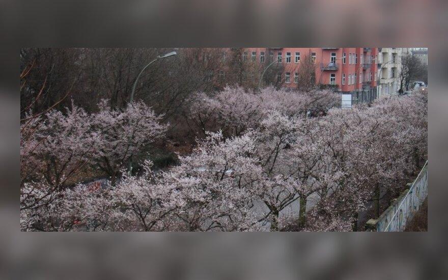 Sausį Berlyne pražydo vyšnios