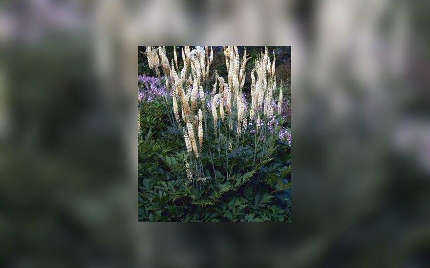 Cimicifuga racemosa, juodoji gyvatžolė