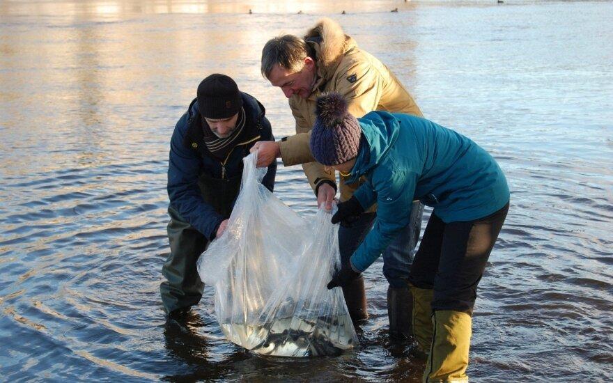 Aštriašnipių eršketų paleidimas į Narvos upę Estijoje