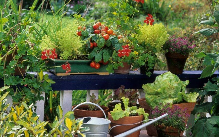 Daržo alternatyva – daržovių auginimas vazonuose: kaip sukurti rojaus kampelį