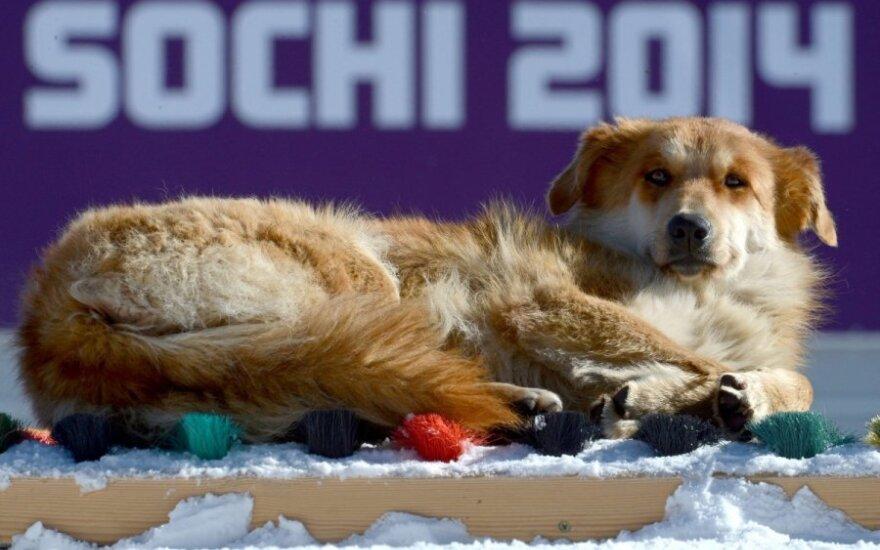 Benamiai šunys - įprasti Sočio olimpinių objektų lankytojai