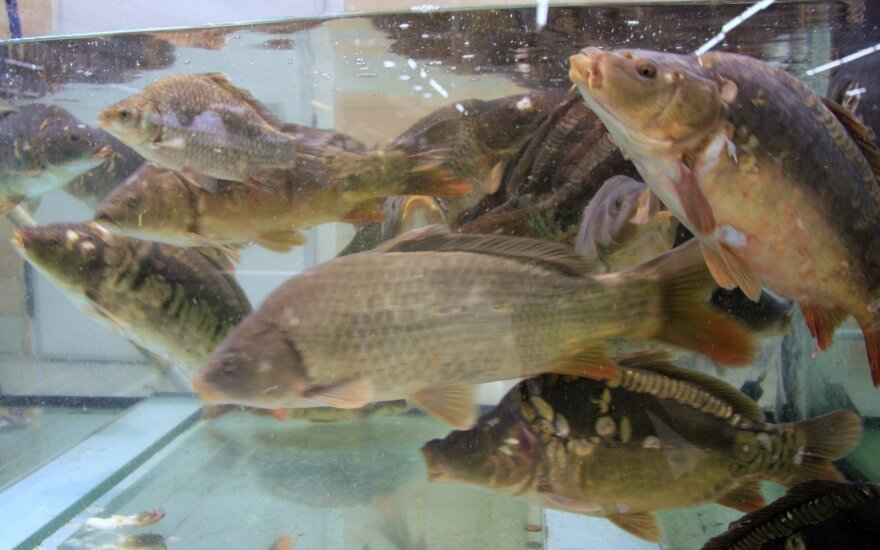 Prekybos tinklams – raginimas nutraukti prekybą gyva žuvimi: daugybė Europos šalių to atsisakė