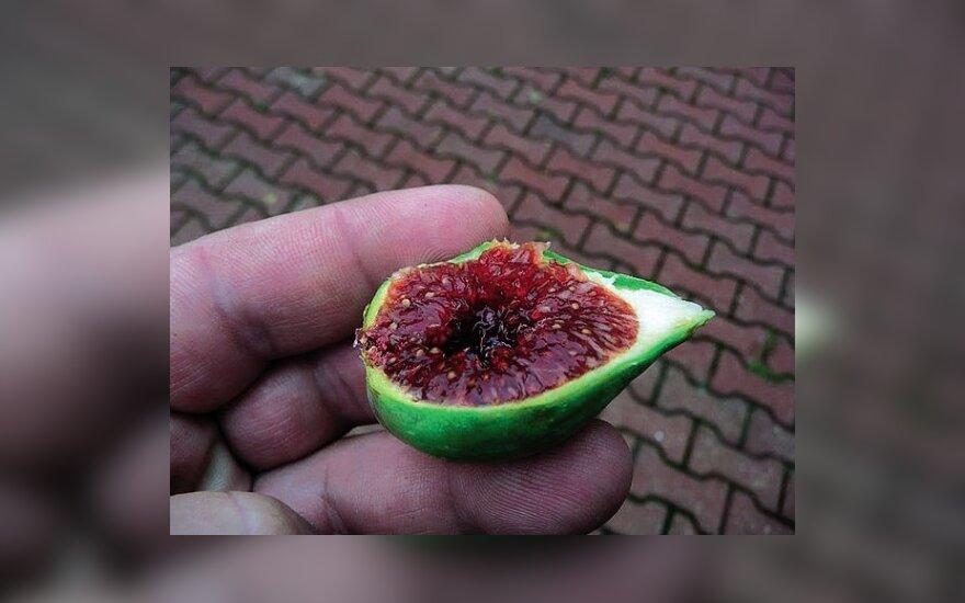 Kokios skonio paties išaugintos figos?