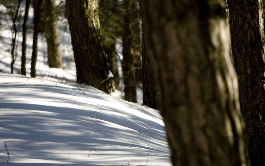 Kai kurie medžiai išgyveno ledynmetį