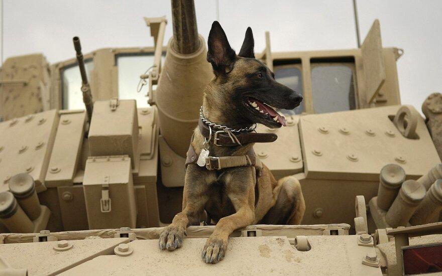 Belgų Malinua veislės šuo Bradley pėstininkų kovos mašinoje. Irakas.2007-ieji