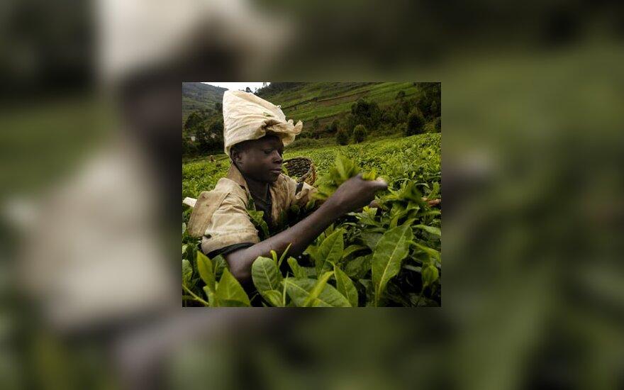 Ruandoje moteris skina arbatos lapus