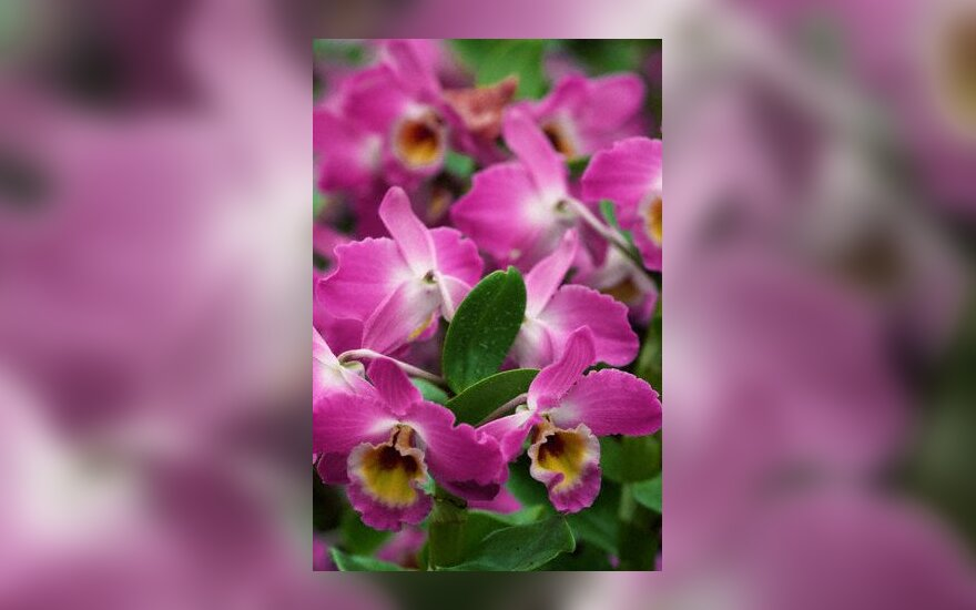 Orchidėja Dendrobium