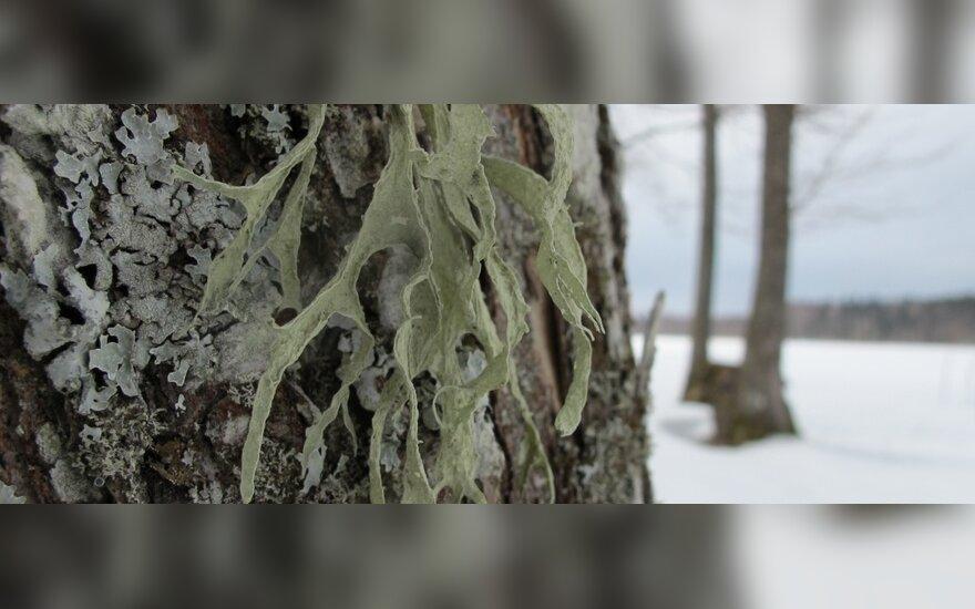 Pavasarį surinkta žievė gydo parodontozę, o šaknys – varo žarnyno kirmėles