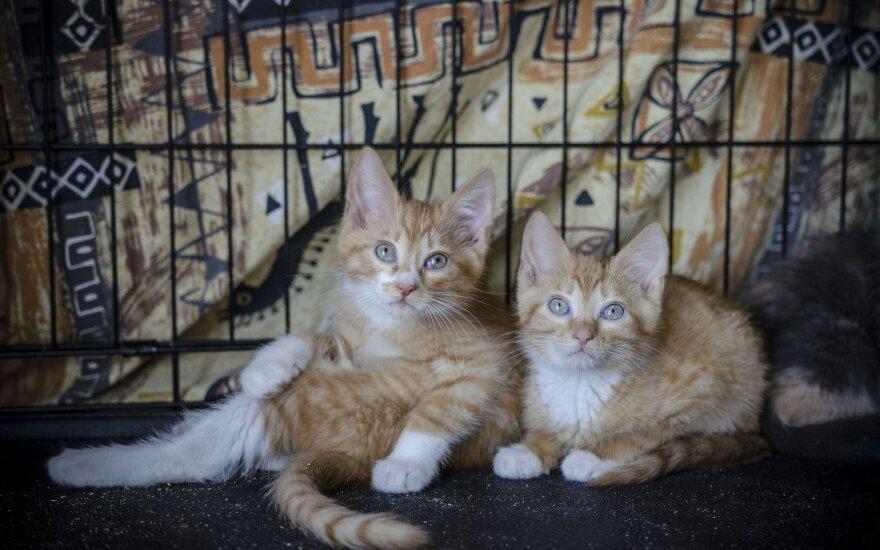 Margaspalvių kačiukų kompanija, išgelbėta iš tamsaus rūsio, ieško namų!