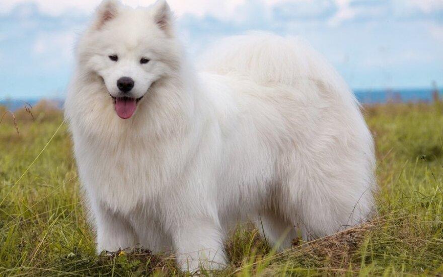Besišypsantis šuo, iš kurio plaukų verpiami siūlai