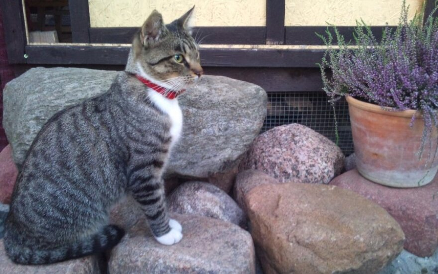 Panevėžyje dingo katytė