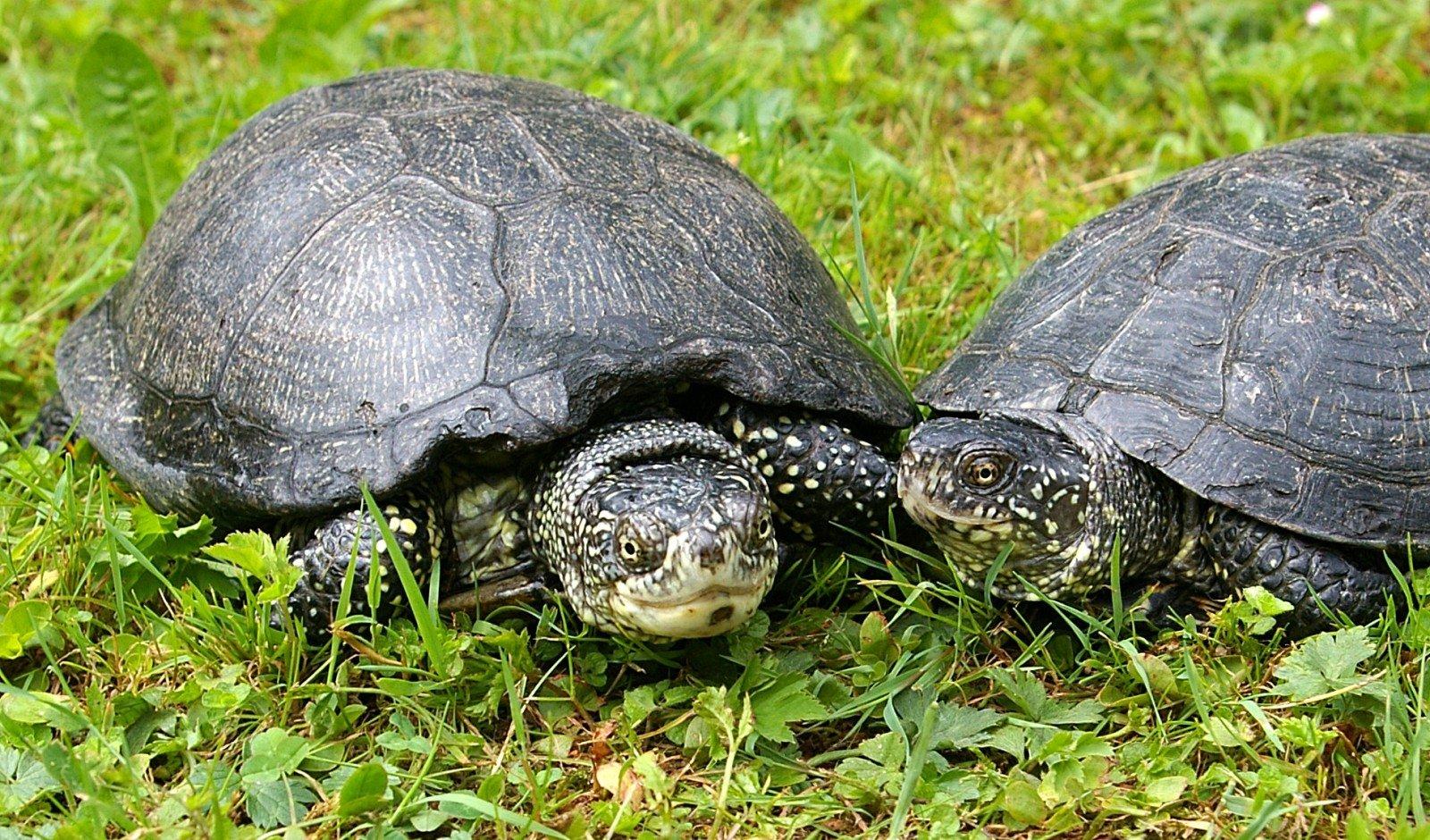 вас болотная черепаха фото универсальные