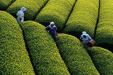 Arbatžolių plantacija Japonijoje