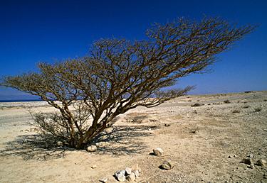 Izraelis, dykuma