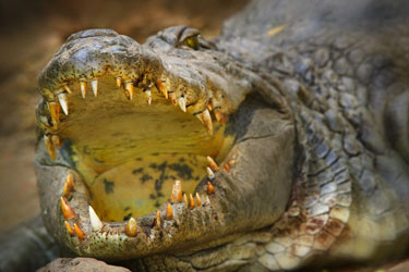 Krokodilas