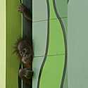 Orangutano jauniklis