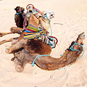 Kupranugariai ilsisi Sacharos dykumoje