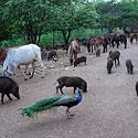 Rojaus kampelis gyvūnams. Vienuolynas Tailande