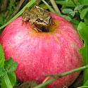 Varliukas ant obuolio