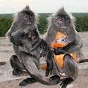 Beždžionėlių maitinimas