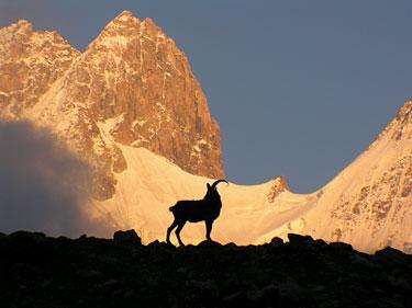 Ožys Kaukazo kalnuose