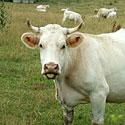 Prancūziška karvė rodo liežuvį
