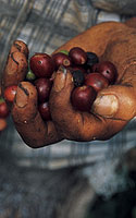 Meksikas, kavos augintoja