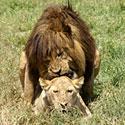 Tikra meilė tik tarp liūtų