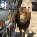 Pavėsio ieškantis liūtas