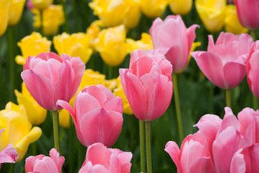 Tulpės, gėlės