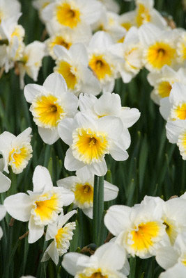 Narcizai, gėlės
