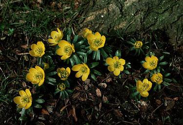 Gėlės, pavasariniai erančiai